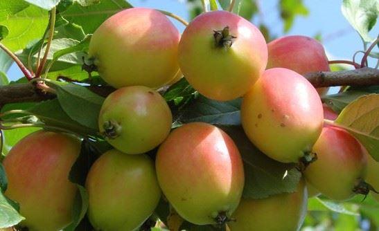 Wanneer zijn appels en peren plukrijp?