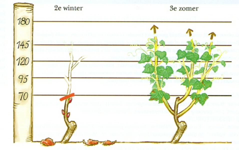 Druif snoeien