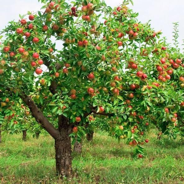 Vangbandje om je fruitboom