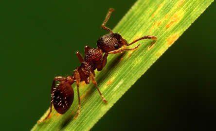Mieren in gazon