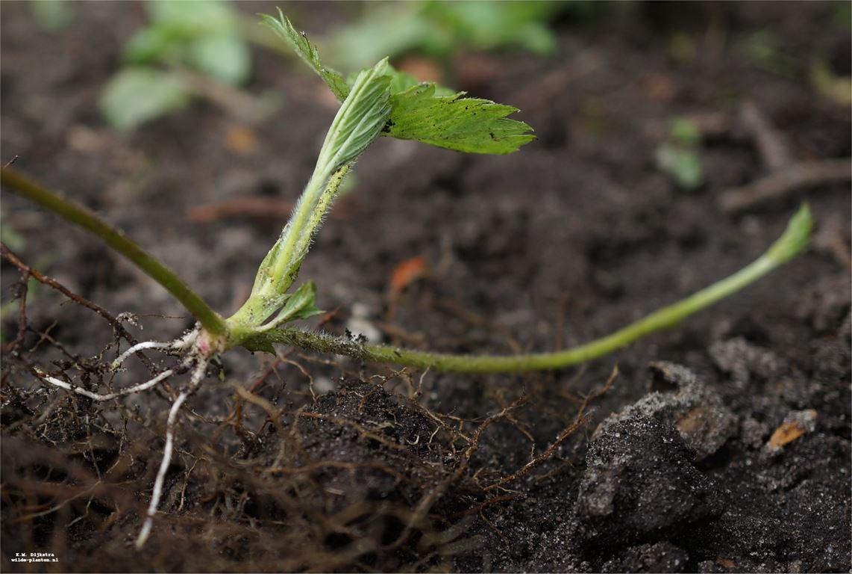 Opgevroren planten
