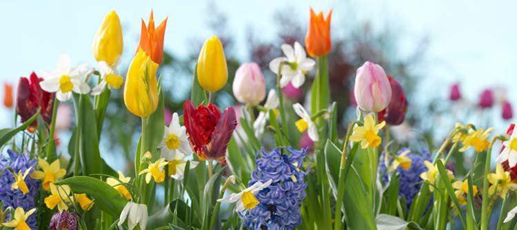 Plant bollen van tulpen, narcissen en hyacinten