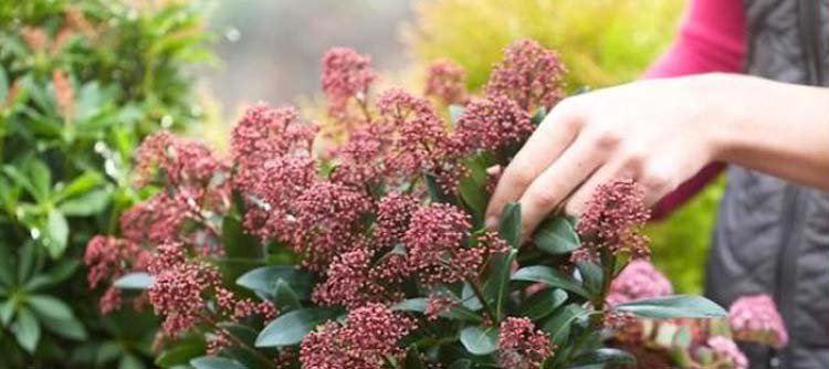 Prima tijd om groenblijvende heesters en coniferen te planten