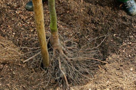 Het verplanten van bomen