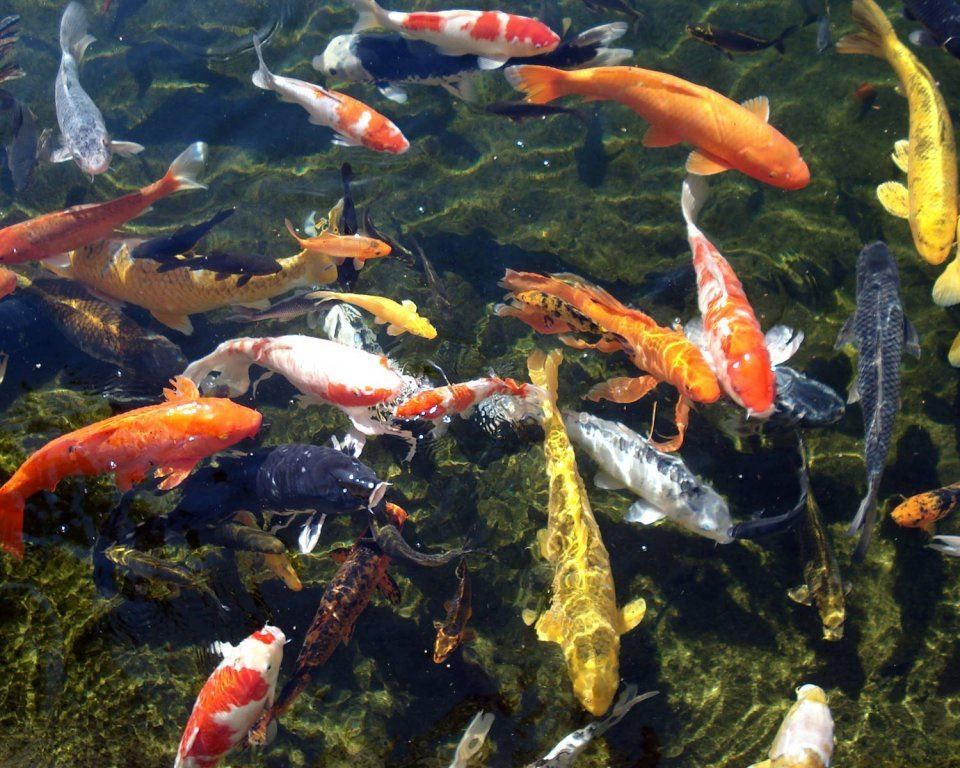 Nieuwe vissen in de vijver plaatsen