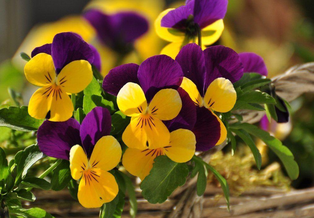 Weet je dat je viooltjes kunt zaaien?