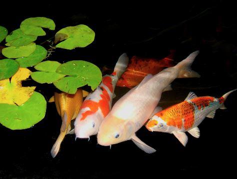 Vissen controleren op ziekteverschijnselen