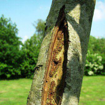 Vorstscheuren bij fruitbomen