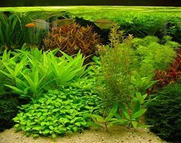 Aquariumplanten