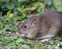 Muizen & Ratten