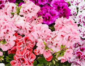 Seizoensbloemen & -planten